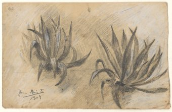 Untitled (Agaves)